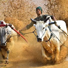 Pacu Jawi  by Maki Sumawijaya - News & Events Sports ( water, man, culture )