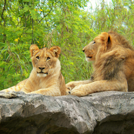LIONS by Donna Caster Wagoner - Animals Lions, Tigers & Big Cats ( big cat, wild, lion, cat, safari, Africa, Safari )