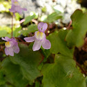 Mauer-Zimbelkraut / Ivy-leaved toadflax