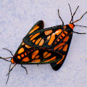Hourglass Wasp Moth