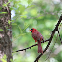 Northern Cardinal (Male)