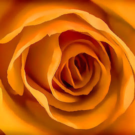 Orange Rose by Chris KIELY - Digital Art Abstract ( rose, orange, beautiful, blossom, flower, petal,  )
