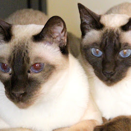 by Patricia Hider - Animals - Cats Portraits ( siamese cats, pair, siamese, portrait, chocolate point siamese cats )