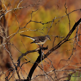 Texas Mockingbird by Brad Love - Animals Birds