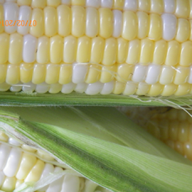 CORN PICKING TIME by Ann Shehan - Food & Drink Fruits & Vegetables