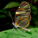Glasswing Nymphalid
