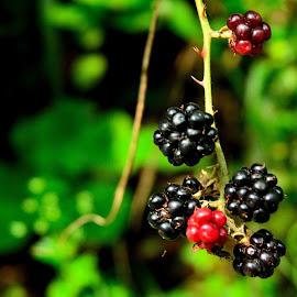 blackberry by Ioana Draghiciu - Food & Drink Fruits & Vegetables ( blackberry, fresh, fruits,  )