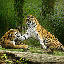 Takedown by John Larson - Animals Lions, Tigers & Big Cats