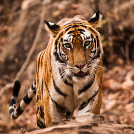 Tiger by Nigel Atkins - Animals Lions, Tigers & Big Cats