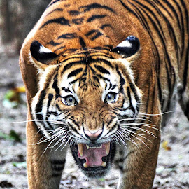 ANGRY BIG CAT by Andy Teoh - Animals Lions, Tigers & Big Cats ( tiger, zoo, angry, animal, andyteoh photography )