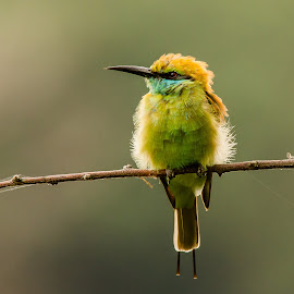 Green bee eater by Ram Ramkumar - Novices Only Wildlife ( bird, wildlife_birds, nature_birds, green_bee_eater, wildlife, bee_eater,  )