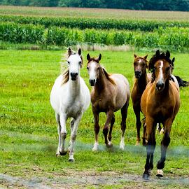 Horses by Rajeev Krishnan - Animals Horses ( farm, horses, horse, farmland, animal )