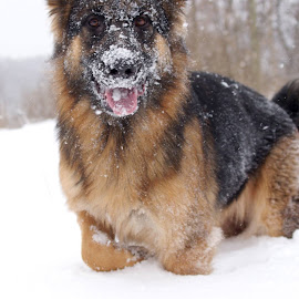 Hello, my snow gem! by Kira Brita - Animals - Dogs Playing