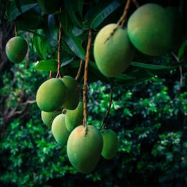 So Many Mangos by Petra Bensted - Nature Up Close Gardens & Produce ( fruit, mangos )