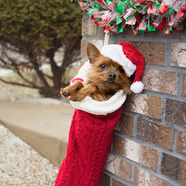 Ted the Stocking Stuffer by Ali Platt - Animals - Dogs Portraits ( stocking, yorkshire terrier, yorkie, yorkshire, christmas, terrier, dog, cute, special needs, teacup, teddy, ted )