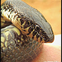 Eastern black kingsnake