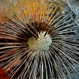 Heart For Photo-art by Marija Jilek - Nature Up Close Other plants ( heart, photo-art, dandelion, nature, plants, seeds )