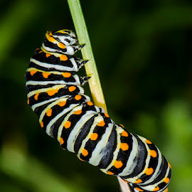 by Lisa Coletto - Animals Insects & Spiders ( caterpillar )