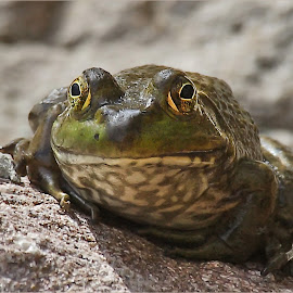Frog on a Rock by Dennis Ba - Animals Amphibians ( bullfrog )