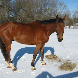 Hey, someone is eating my hay! by Bill Calvert - Animals Horses ( hey, someone is eating my hay! )