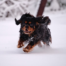 Cavalier in the snow by Marius Birkeland - Animals - Dogs Running ( cavalier, snow, cavalier king charles spaniel, dog, animal )