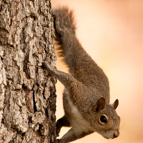 Squirrel by Keith Reling - Animals Other ( florida, squirrel,  )