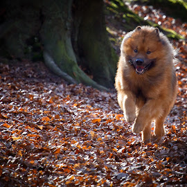 Baiko running 2 by Joern Fellenberg - Animals - Dogs Running ( eurasier, dog, running )