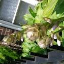 Hosta/Plantain Lily/Day Lily/Corfu Lily/Giboshi