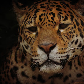 Jaguar by Jackson Visser - Animals Lions, Tigers & Big Cats ( jaguar, spots, cat, pattern, beautiful, africa, big )