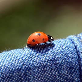 Ladybug by Momen Hussein - Animals Insects & Spiders ( ladybug, insect )