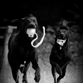 dogs running-playing by Oniram Reivar - Animals - Dogs Playing ( black dogs, dogs playing, dogs running, dog-fun, black-white )