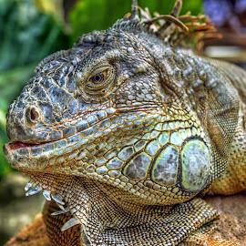 Iguana by Randi Pratama M - Animals Reptiles ( reptiles, iguana, reptile, animal )