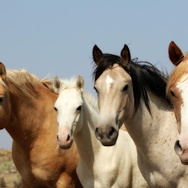 Family Portrait by Kathy Tellechea - Animals Horses ( palomino, animals, nature, horses, mustangs, wild horses,  )