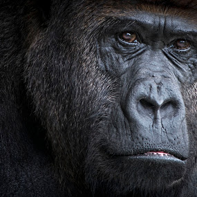 Are you looking at me by Heather Allen - Animals Other Mammals ( zoo, miami, apes, gorilla, zoo animals, lowland, close up, monkey, eyes, animal,  )