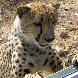Cheetah by Liselle Mostert - Novices Only Wildlife ( spots, wild, cheetah, nature, wildlife, markings,  )