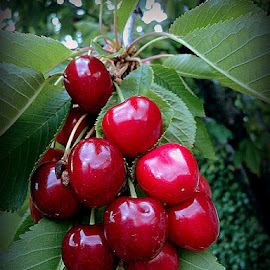 cherry red by SA GA - Food & Drink Fruits & Vegetables ( cherry, fruit, cherries, cherry fruit,  )