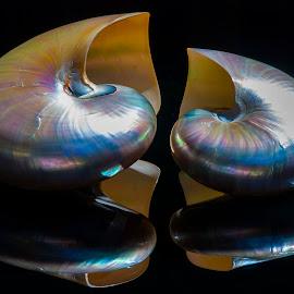 pearl nautilus seashell by Adjie Tjokrosoedarmo - Artistic Objects Still Life