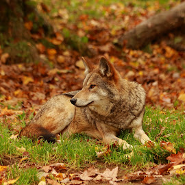 Coyote by Christine Chambers - Animals Other ( coyote, nature, fall, leaves, photography )