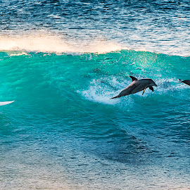 Surfing with Dolphins by Matt Hutton - Sports & Fitness Surfing ( surfing, blue, dolphins, waves, surfboard, kalbarri, beach, surf, western australia )