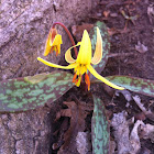 Trout Lily, Dogtooth Violet
