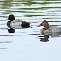 Lesser Scaup (male) and Canvasback Duck (female)