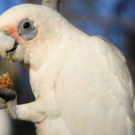 Feasting on a banksia seed by Howard Ferrier - Animals Birds ( bird, sunshine coast, little corella, corella, cockatoo, happy valley, queensland, tree, australia, cacatua sanguinea, banksia, caloundra )