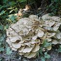 Stereum Fungus