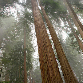 by Craig Bill - Nature Up Close Trees & Bushes ( redwoods, califonia, fog, trees, forest, mist,  )