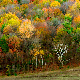One Naked Tree by Gene Walls - Landscapes Forests ( birch, forest, leaves, fallen leaves, field, hillside, tree, autumn, foliage, fall, trees, autumn colors, treeline,  )