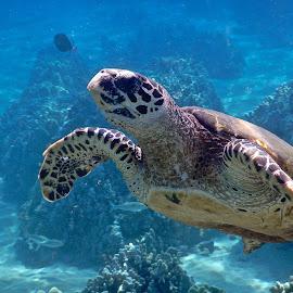 a curious Honu, a hawkbill turtle  by Tatiana Gonnason - Animals Sea Creatures