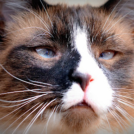 by Pam Satterfield Manning - Animals - Cats Portraits ( cat face, cat, animals, cat portrait, siamese cat, siamese, animal cat, cat kitten, animal,  )