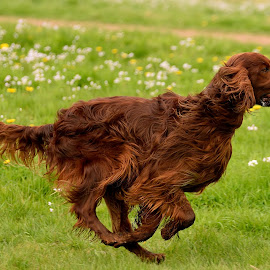Flynn loves to run... by René van Zon - Animals - Dogs Running
