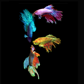 Fighting Fish F by Janna Morrison - Typography Words ( f )