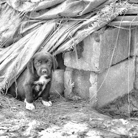 Guard dog by Jeffrey Genova - Animals - Dogs Puppies ( black and white, pet, puppy, cute, dog,  )